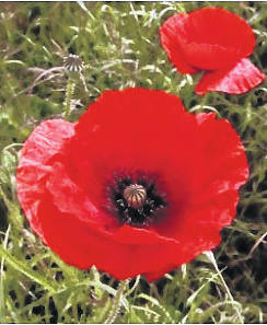 How Poppies Came To Be A Symbol Of Soldiers Sacrifice Richmond