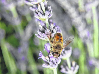 Photo courtesy of Paige Burns Clark                                 A bee pollinates a lavender plant at the Bluebird Hill Farm.