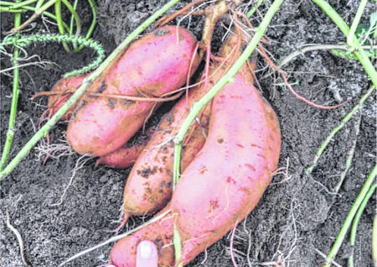Photo courtesy of Paige Burns Clark                                 Sweetpotatoes ready for harvest.