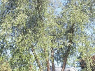 October's Tree of the Month: Birch Tree