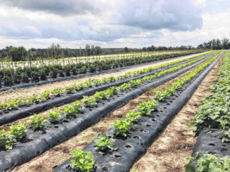 Photo courtesy of Paige Burns Clark                                 Lee Berry's farm in Ellerbe. Berry grows a wide variety of crops which he sells at his farm stand, The Berry Patch.