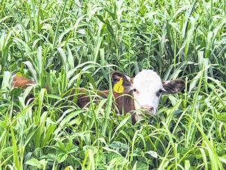 Pasture renovation using summer annual forages