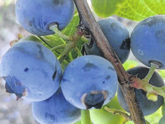 Photo courtesy of ENBF                                 You Pick Blueberries at Eagles Nest Berry Farm, Moore County.