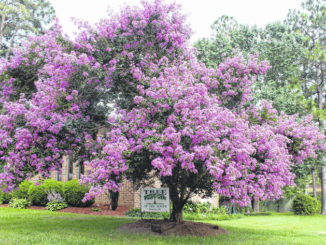 Tree of the Month: Crape Myrtle