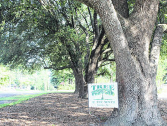 """Photo courtesy of the Hamlet Tree and Beautification Group                                 The """"Tree of the Month"""" pick for August selected from the Hamlet Tree and Beautification Group is located on the corner of Poplar St. & Locust St. Three beautiful live oak trees that provide valuable shade have been selected for their character and appearance. The name """"live oak"""" gets its name because it is an evergreen oak that remains green and alive throughout winter while other oaks are dormant & leafless. Once mature, live oak trees can live for centuries. It's no wonder why live oaks are a symbol of strength."""