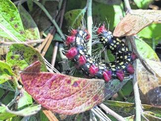 Photo by Paige Burns Clark                                 Azalea caterpillar on blueberry.